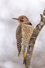 flicker on photobranch (G_Anderson) Tags: woodpecker missouri backyard birds birding winter snow