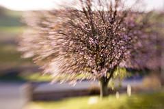 In the pink! (Elisafox22) Tags: elisafox22 sony nex6 lensbaby composerpro 50mm optic doubleglass htmt tmt treemendoustuesday htt texturaltuesday tree japaneseplumtree pink blossom spring outdoors elisaliddell©2019