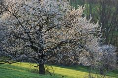 Printemps lumineux (Excalibur67) Tags: nikon d750 sigma globalvision contemporary 100400f563dgoshsmc paysage landscape arbres trees floraison flowers fleurs printemps spring frühling nature