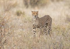 Cheetah - Samburu (rosebudl1959) Tags: 2019 kenya cheetah samburu elephantbedroomcamp