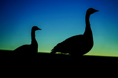 Two Geese Near Dawn (DDM Imaging) Tags: geese bird birds wildlife dawn color colors colour colours camera sony a7ii a7m2 sky sunrise night nature abstract