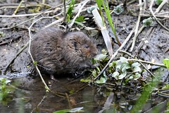 Eating water mint (PhotoCet) Tags: photocet mammal vole watervole mint watermint eating feeding
