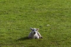 Super cute lamb time! (DJNanartist) Tags: nikond750 nikon28300mm lakedistrict anartist stonethwaite eaglecrag sheep lamb