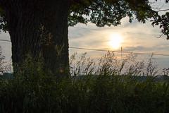 Oak and Evening Light, (marylea) Tags: jun17 2018 fields field oaktree evening light oak soybeanfield grasses sunlight landscape