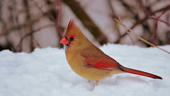 Northern Cardinal (mrsparr) Tags: humberbayparkeast toronto ontario canada northerncardinal bird red compositionallychallenged