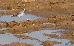Greater Yellowlegs (BirdFancier01) Tags: abwaterbirds shorebird greateryellowlegs wader nature birdphotography michigan water