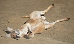 Day Dreamer (Mary Faith.) Tags: kangaroo roo animal australia currumbin