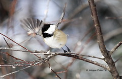 Black-capped Chickadee (Poecile atricapillus) (Gerald (Wayne) Prout) Tags: blackcappedchickadee poecileatricapillus animalia aves chordata passeriformes paridae poecile atricapillus blackcapped chickadee chickadees bird birds songbirds perchingbirds wildlife nature animal animals fauna herseylakeconservationarea cityoftimmins northeastern northernontario ontario canada prout geraldwayneprout canon canoneos60d eos 60d digital camera canonlensef70300mmf456isusm lens ef70300mmf456isusm photographed photography herseylake hersey conservation conservationarea timmins lake winter