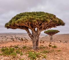 Dragon's Blood Tree (Rod Waddington) Tags: yemen yemeni socotra island is dragons blood trees tree landscape dracaena cinnabari endangered species nature