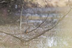 Féérie de Martin-Pêcheur (Richard Holding) Tags: martinpêcheurdeurope bird eure kingfisher m43 martinpêcheur nature normandie normandy oiseau olympus omd wildlife