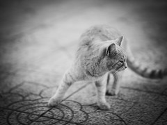 GFX0675 - Dadaumpa (Diego Rosato) Tags: dadaumpa ballo dance gatto cat animale animal pet stray randagio fuji gfx50r fujinon gf110mm bianconero blackwhite rawtherapee
