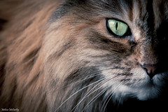 Abstract Bella :) (Melissa M McCarthy) Tags: bella cat kitty pet animal dilute tortie tortiseshell feline green eyes closeup portrait face abstract furry fuzzy cute rescue senior newfoundland canon7dmarkii sigma105mmmacro