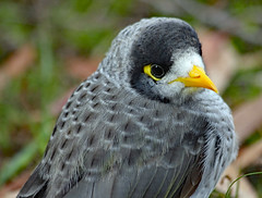 Noisy Miner (Uhlenhorst) Tags: 2009 australia australien animals tiere birds vögel travel reisen