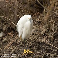 DSC_0783_Snowy egret (sdttds) Tags: snowyegret egrettathula egret heron wadingbird wildlife davis ucdavis arboretum yolocounty california beauty