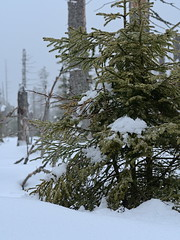 Harz-Oderbrück_e-m10_1012077186 (Torben*) Tags: rawtherapee olympusomdem10 sigma60mmf28dn urlaub vacation harz oderbrück nadelbaum conifer schnee snow