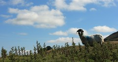 Hey Ewe, Get Offa My Thistles (RoystonVasey) Tags: canon eos m 1855mm stm zoom north yorkshire dales ydnp west burton wensleydale waldendale