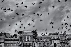 Fly Away (sdupimages) Tags: paris blackwhite noirblanc noiretblanc street fly pigeons birds oiseaux sky clouds nuages ciel rue nb bw monochrome