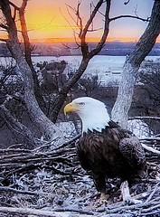 Justice 3-13-2019 (2) - SCREENSHOT (THE Halloween Queen) Tags: eagles eagle wildlife bald baldeagles nationssymbol patriotic