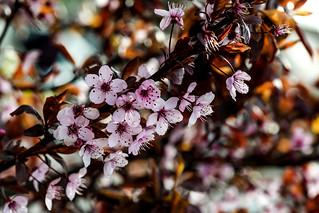 Colourful Prunus