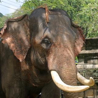 Elderly Elephant (IMG_2835b)