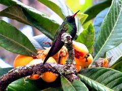 Hispaniolasmaragdkolibri auf japanischer Wollmispel (naturgucker.de) Tags: ngidn1639612021 chlorostilbonswainsonii hispaniolasmaragdkolibri