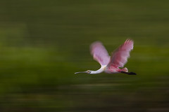 Roseate Spoonbill (PeterBrannon) Tags: bird flight florida nature plataleaajaja wadingbird wildlife wings roseatespoonbill spoonbill panning blur