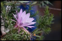 Fior di Cactus (claudiobertolesi) Tags: claudiobertlesi cactus fiore fiori pianta piante sony sonynex6 milano lombardia italy italia