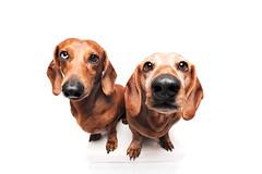 Two cool boys (Wieselblitz) Tags: dog dogs dogphotography dogphotographer dogportrait doginthestudio dogsonality dachshund dachshundportrait pet pets petphotography petphotographer petportrait muppetational studio studioportrait studiodogportrait cute cuteness cutedog
