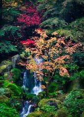 A Splash of Color (BlinkOfALens) Tags: portland oregon unitedstatesofamerica us fallcolors autumn waterfall garden