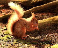 Red squirrel. (Olive Taylor. Thank you for your visit.) Tags: redsquirrel mammal northeastengland wildlife woodland britishwildlife
