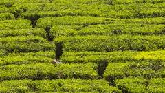 Visit to a tea plantation (Hans van der Boom) Tags: holiday vacation indonesia indonesië asia java westjava tea plantation green hiding hidden person id