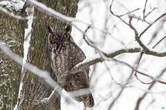 ''Entre les branches!'' Grand-duc d'Amérique-Great horned owl (pascaleforest) Tags: hibou owl passion nikon nature wild wildlife faune québec canada winter hiver oiseau bird animal