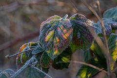 multi coloured leaf (petegatehouse) Tags: winter colour leaf bramble blackberry