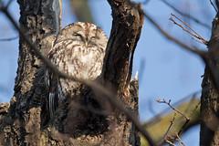 Tawny Owl - Waldkauz (rengawfalo) Tags: brownowl tawnyowl strixaluco eule vogel bird animal wildlife nature natur kauz vögel waldkauz owl tree birder birding outdoor wood forest