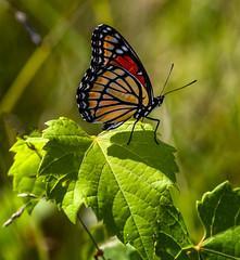 Salad Sitter (Portraying Life, LLC) Tags: michigan unitedstates pentax k1 meadow butterfly da3004 hd14tc ricoh handheld nativelighting closecrop