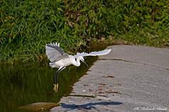 Garzetta _050 (Rolando CRINITI) Tags: garzetta uccelli uccello birds ornitologia avifauna torrenteplcevera genova natura