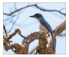 Scrub jay (Alan-Taylor) Tags: jay scrubjay bird california usa