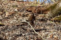 Groundhog_0671 (2)e (Porch Dog) Tags: 2019 garywhittington kentucky nikond750 nikkor200500mm february winter lbl landbetweenthelakes betweentherivers nature wildlife outdoors