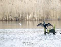 Sunbathing Cormorant (charlottejarvis@live.co.uk) Tags: wildlife bird berks england uk cormorant