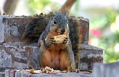 6 Enjoying The Fruits Of My Labor (Kaptured by Kala) Tags: sciurusniger foxsquirrel squirrel garlandtexas pecan closeup outsidemywindow brickwall eating feeding greenpecan unripepecan