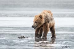 _HB31751 (Hilary Bralove) Tags: lakeclarknationalparkbrownbearsbearsalaskanikonwildlifegrizzlygrizzlybearbrownbearanimalswildlifephotographer alaksa brownbears grizzlybears bear bears grizzly brownbeargrizzly bearlake clarkwildlifealaska wildlifenikonlake clark national park
