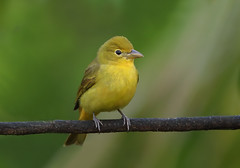 Yellowish Flycatcher (ashockenberry) Tags: safari reserve rica rainforest river costa ashleyhockenberryphotography animal travel tourism tree tropical habitat jungle nature naturephotography natural native majestic mountains flycatcher beautiful bird beauty forest feathers vacation