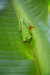 DSC_5579 (stacyjohnmack) Tags: costarica frog redeyedtrrefrog
