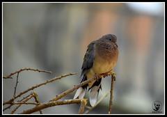 #UAE #sharjah  #Sharjah_desert_park #bird #birds #doves #dove #myphoto #photography  #picoftheday #photooftheday #sharjahdesertpark  #الإمارات #الشارقه #منتزه_الصحراء #مركز_حيوانات_شبه_الجزيره #اليمام #طائر #طيور #تصوير #تصويري #فوتوغرافي (alrayes1977) Tags: uae sharjah sharjahdesertpark bird birds doves dove myphoto photography picoftheday photooftheday الإمارات الشارقه منتزهالصحراء مركزحيواناتشبهالجزيره اليمام طائر طيور تصوير تصويري فوتوغرافي