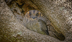 in the mangroves - a wee owlet-nightjar (Fat Burns ☮) Tags: owl bird australianbird fauna australianfauna nikonnikond500 nikon200500mmf56eedvr nature outdoors wynnummangroveboardwalk wynnumnorth queensland australia wildlife australianwildlife australianowletnightjar aegothelescristatus nightjar