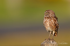 Master of all I Survey! (craig goettsch - out shooting) Tags: sanibel2018 burrowingowls capecoral owl bird avian nature wildlife nikon d850