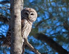 It's owl good (Meryl Raddatz) Tags: bird owl nature naturephotography canada barredowl