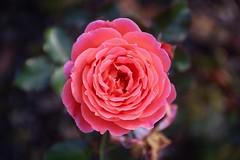 J.G. Mendel      SOM Berthiot Flor 50mm  F 3.5 (情事針寸II) Tags: クローズアップ 自然 花 薔薇園 薔薇 closeup bokeh triplet oldlens nature fleur flower kasteelcoloma rosegarden rose somberthiotflor50mmf35