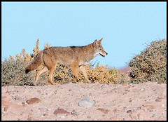 Coyote (Ed Sivon) Tags: america canon nature lasvegas wildlife wild western southwest desert clarkcounty vegas flickr bird henderson nevada