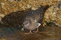 Black Turnstone (Alan Gutsell) Tags: blackturnstone monterey bay california shorebird turnstone black canon wildlife alan camera beach surf waves western